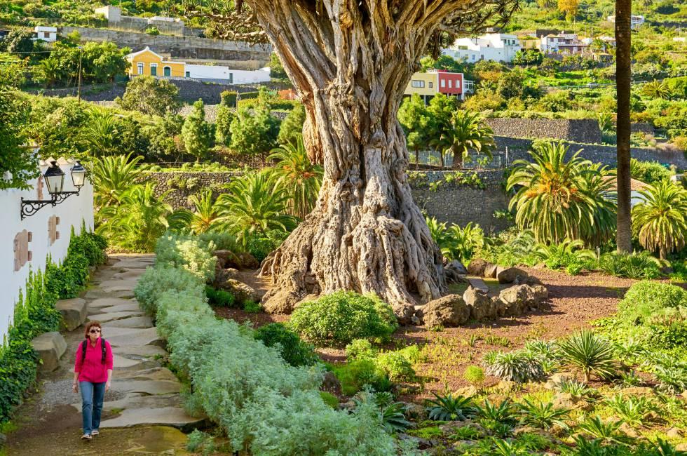 Ejemplar de drago en Icod de los Vinos (Tenerife).