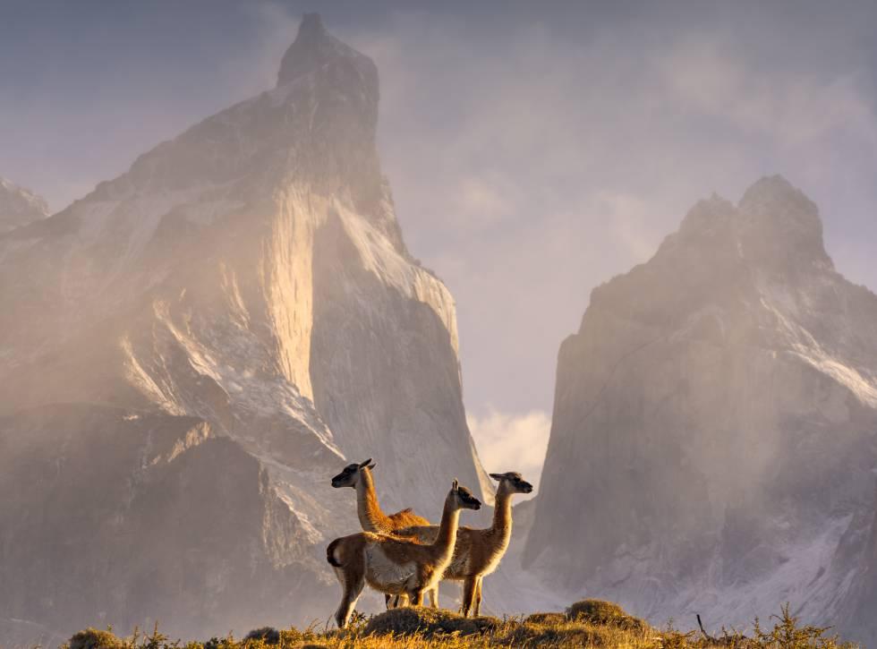 Guanacos en el parque nacional Torres del Paine (Chile).