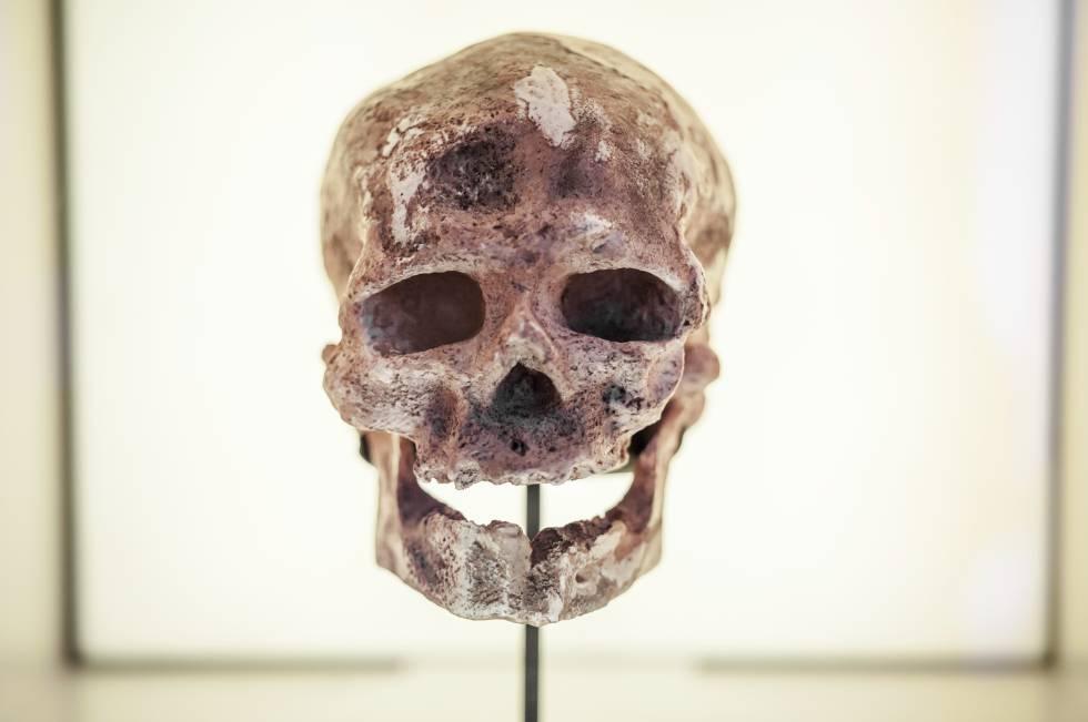 Cráneo de Homo antecessor hallado en Atapuerca.