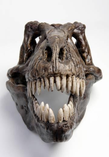 Cráneo de Tiranosaurio Rex hallado en el oeste de Estados Unidos.