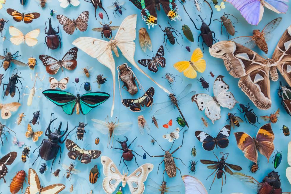 Colección entomológica del museo de la Universidad de Oxford (Reino Unido);
