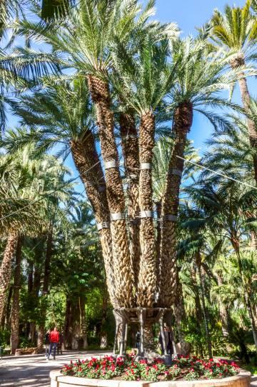 El palmeral de Elche, con 500 hectáreas, es patrimonio mundial de la Unesco.