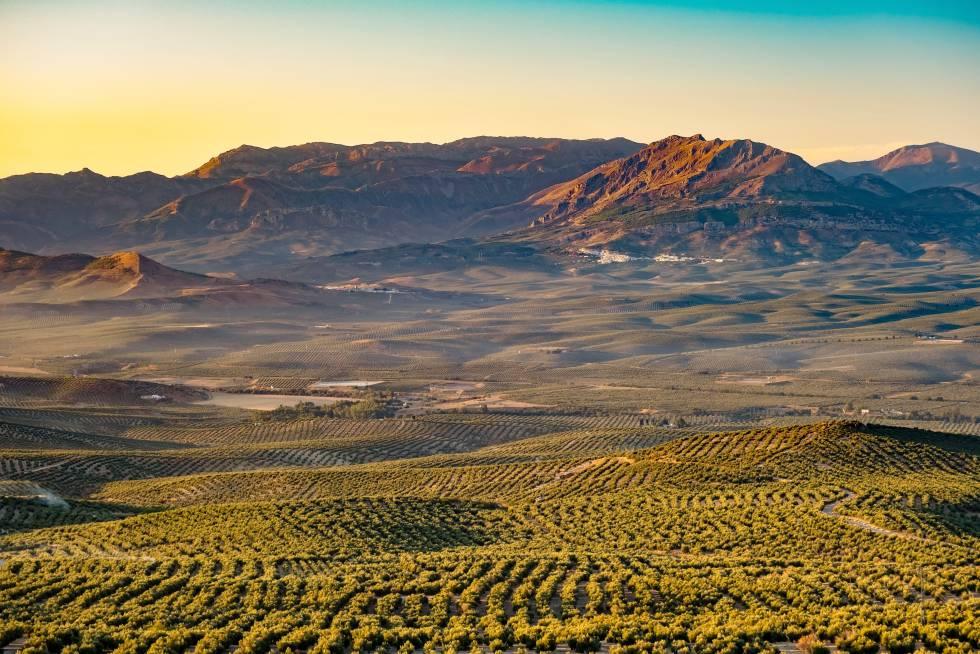 La Sierra Magina despunta en el horizonte de esta panorámica de olivares que se obtiene desde Baeza, en Jaén.