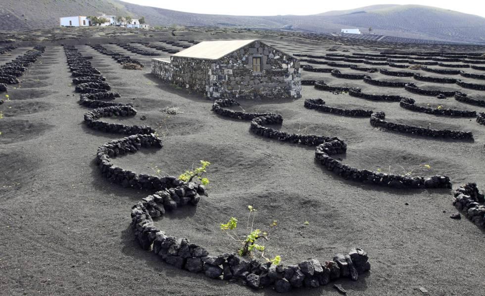 Los vinos volcánicos son los más característicos de Canarias.  En Bodegas El Grifo, una de las más antiguas del archipiélago, puedes visitar este tipo de cultura.