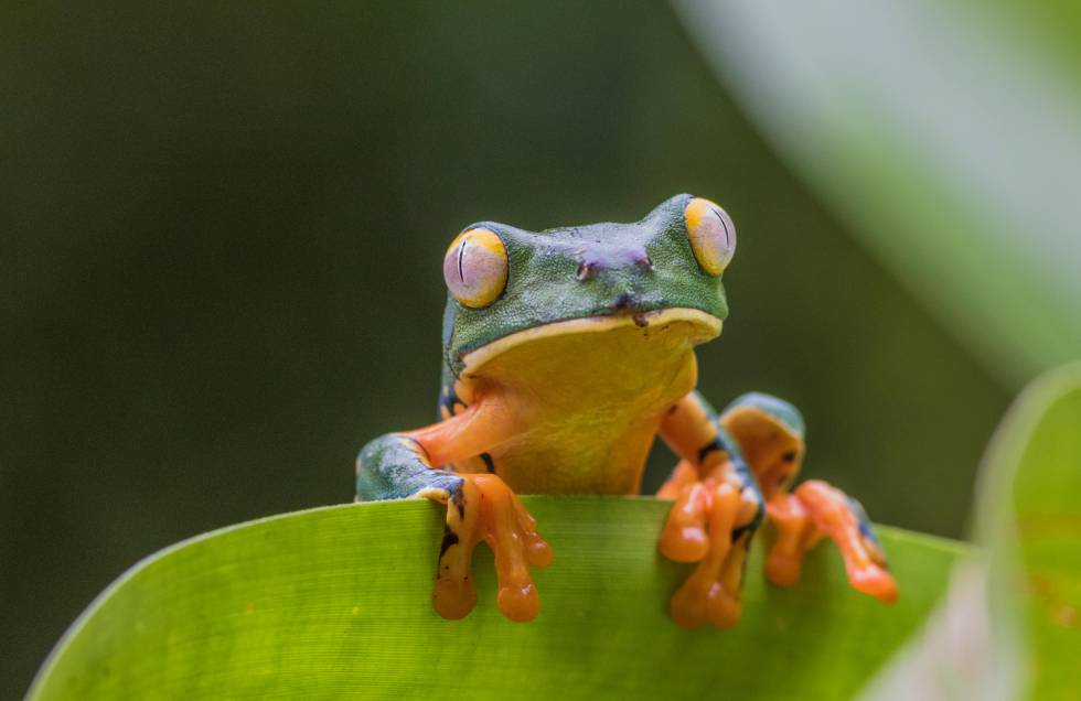 Una rana trepa sobre una hoja en la selva tropical de Boca Tapada (Costa Rica).