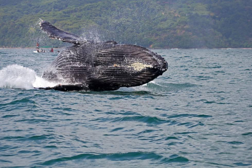 Una ballena jorobada, en el parque nacional Marino Ballena, en Costa Rica