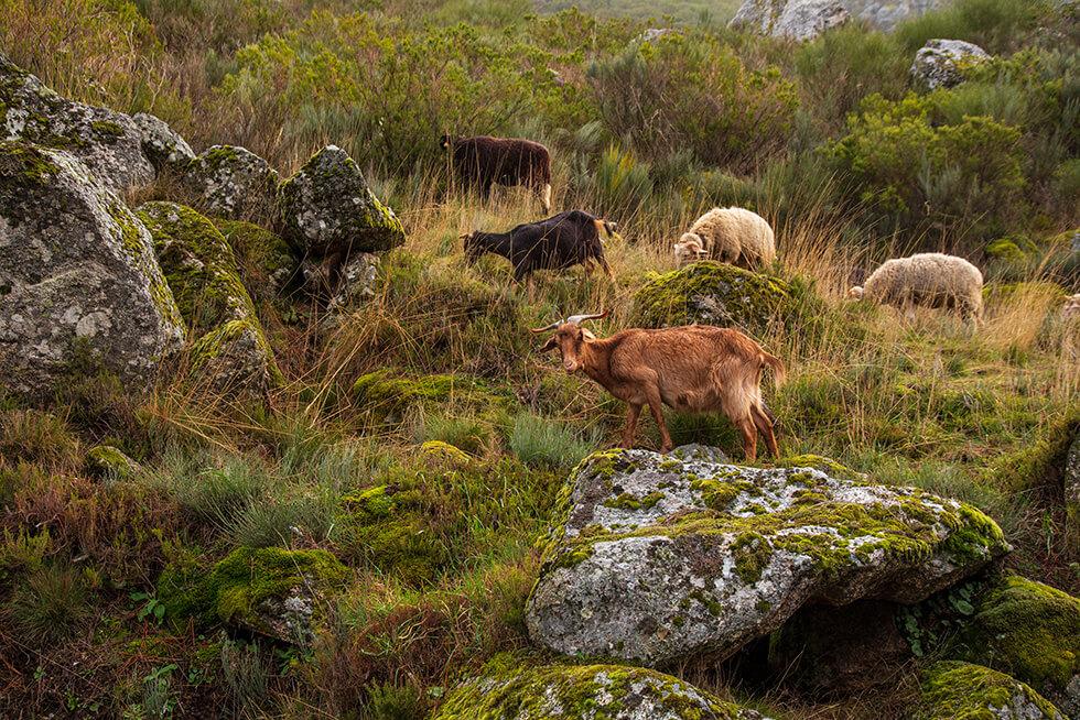 Bisontes europeos, boñigas fósiles, bosques en fila