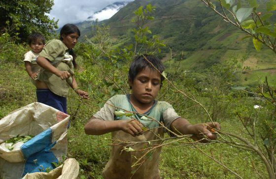 Una familia recoge hoja de coca en el valle peruano de Santa Rosa.