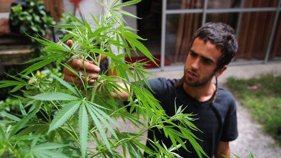 Un hombre trabaja en sus plantas de marihuana en Montevideo