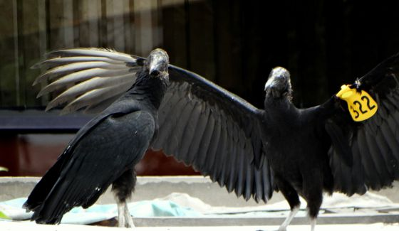 Two turkey buzzards used for a garbage control project in Lima.