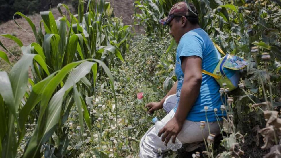Um camponês mostra como a papoula é semeada entre plantações de milho.