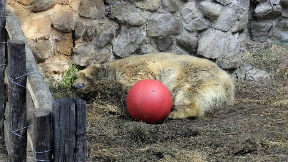 O urso Arturo no zoológico de Mendoza.