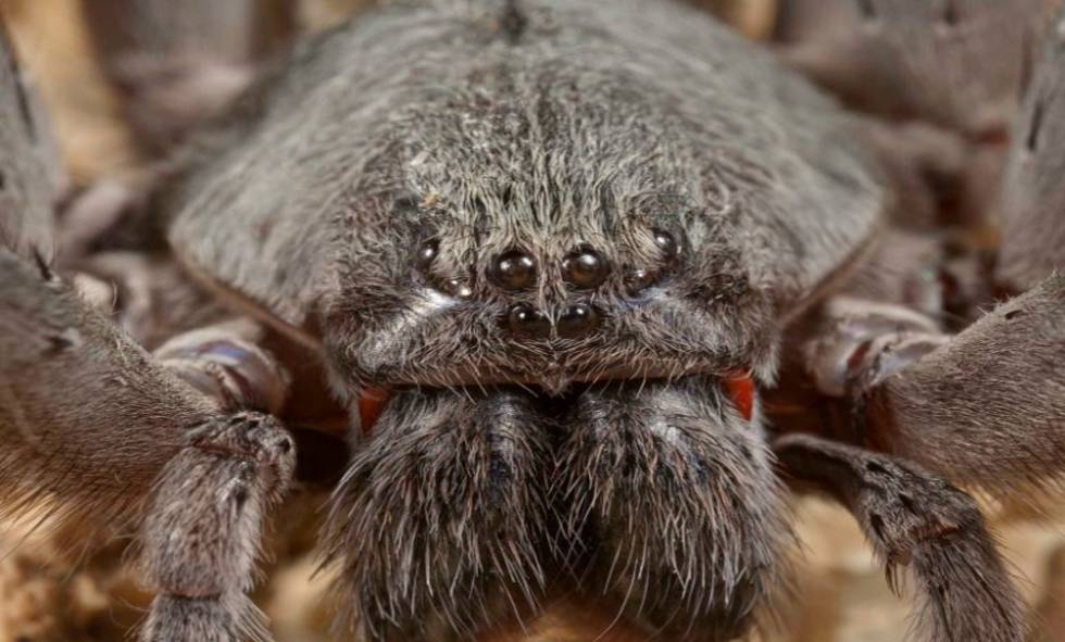 Mexican Arachnids New Giant Spider Species Discovered In