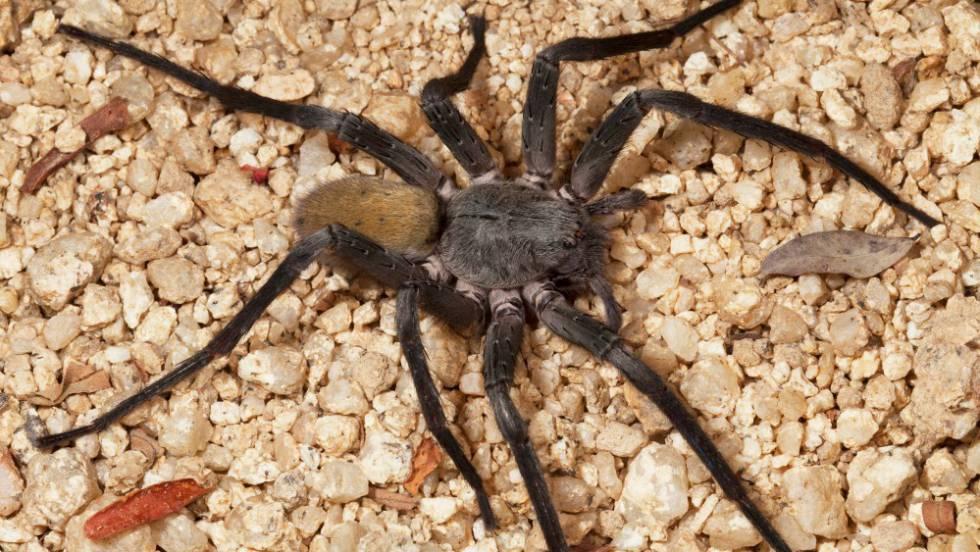 Große haarige graue Spinne in Texas