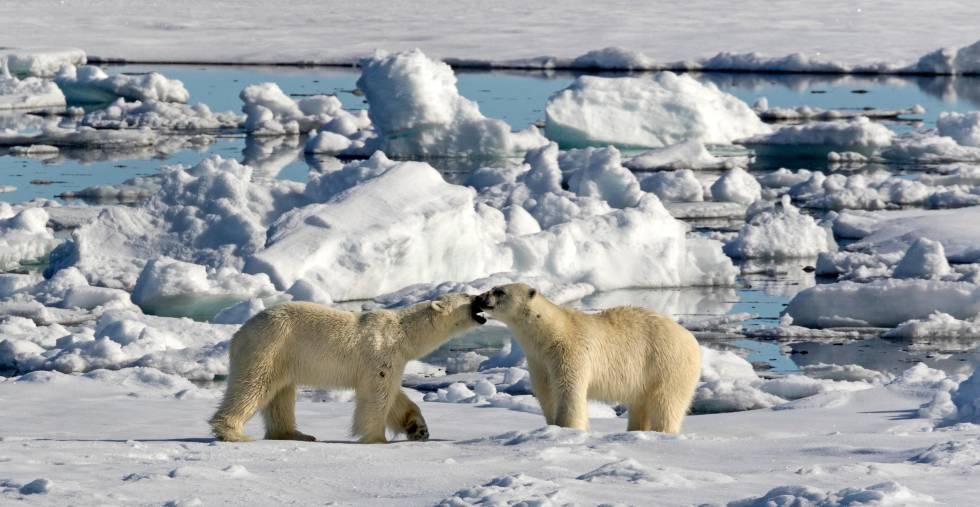 Dos osos polares sobre una placa de hielo en Spitsbergen (Noruega).