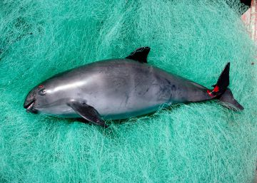 From captivity to cloning: the fight to save the vaquita porpoise from extinction