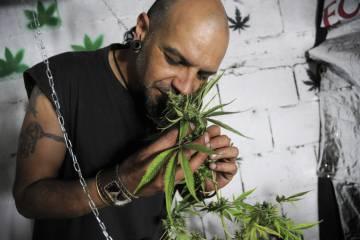 Um membro da Rede de Usuários de Drogas e Cultivadores de Cannabis do Uruguai posa para uma foto ao lado de um pé de maconha.