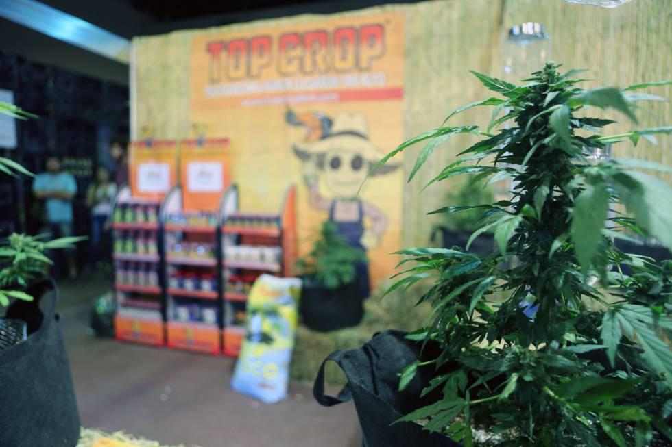 Una planta de marihuana en un puesto de la tercera edición de Expocannabis, en Montevideo (Uruguay) en diciembre de 2016.