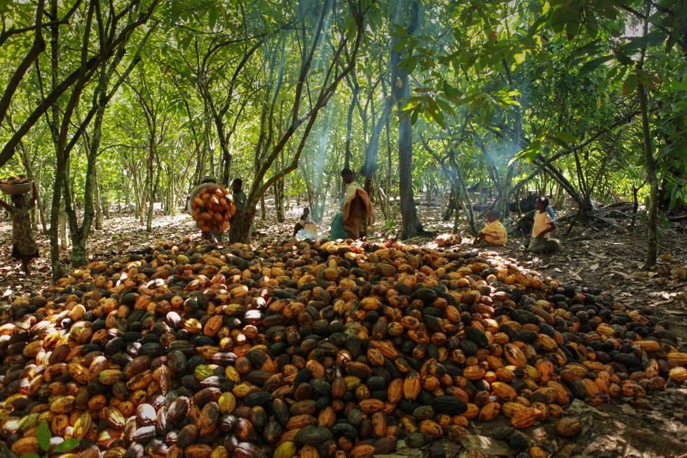 Una familia de campesinos recoge los frutos de cacao en uno de los miles de campos de la región marfileña de Dahiri, en diciembre de 2010.