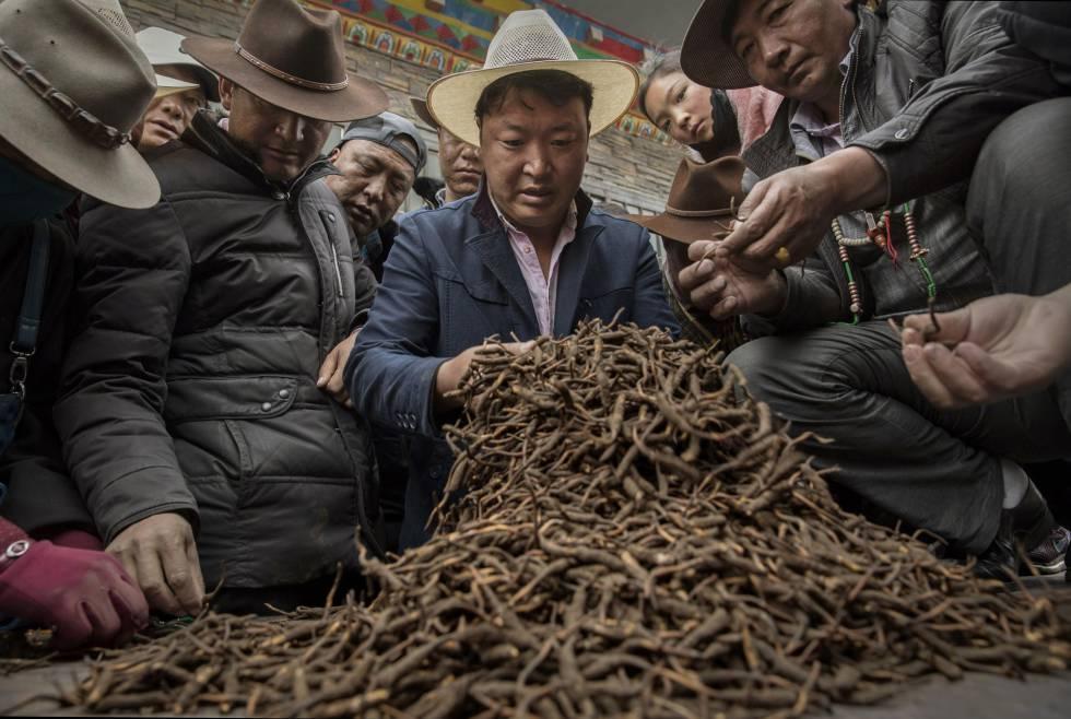 Nómadas tibetanos venden hongo cordyceps en un mercado, en mayo de 2016
