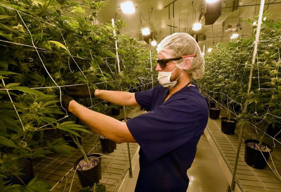 Un hombre remueve hojas de marihuana en Nevada, uno de los estados en los que la marihuana es legal.