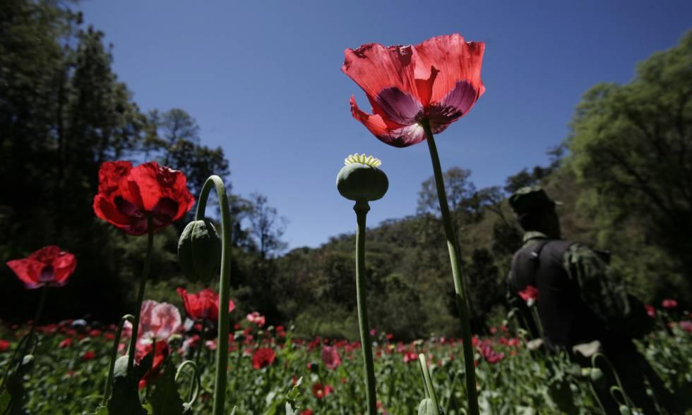Una amapola de opio, en Morelia (México), en una imagen de 2010.