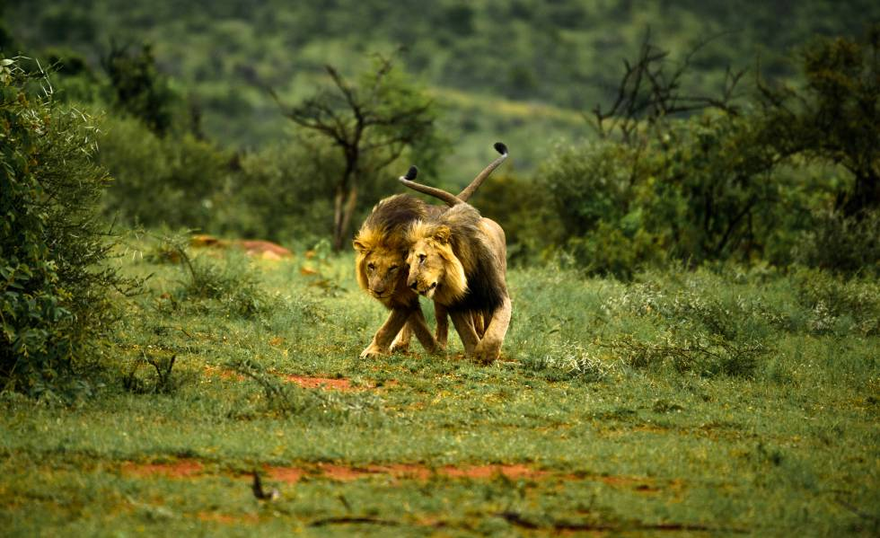 Dos leones machos juegan uno junto al otro.