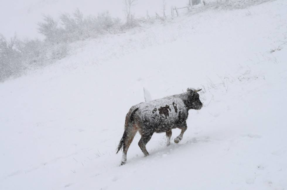 Una vaca camina en una nevada en España.