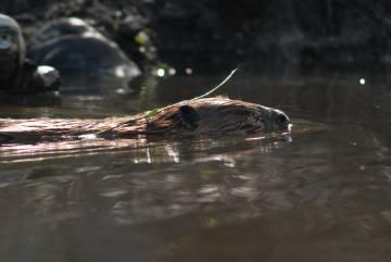 Un castor en Tierra del Fuego.