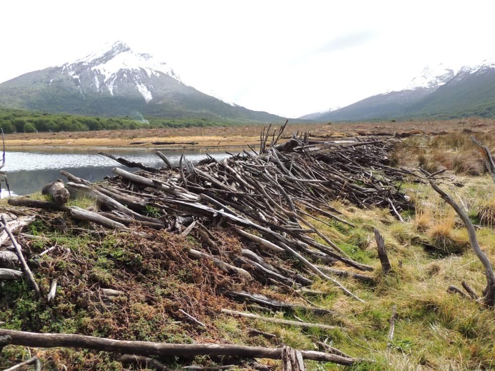 Diques construidos por castores en Tierra del Fuego.