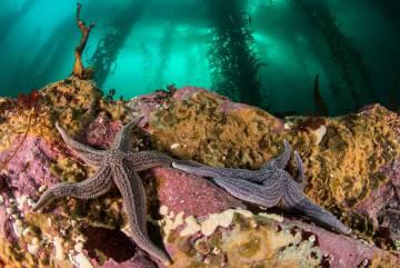 Estrellas de mar en Yaganes, fotografiadas en el marco del proyecto National Geographic Pristine Seas.