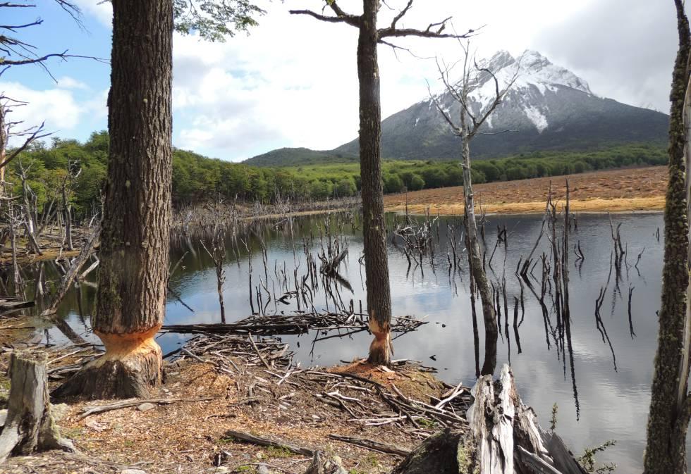 Un bosque fueguino arrasado por la acción de los castores.