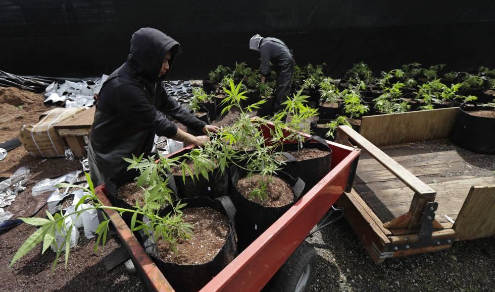 Trabajadores de una compañía productora de marihuana en Shelton, en el Estado de Washington, el pasado 12 de abril