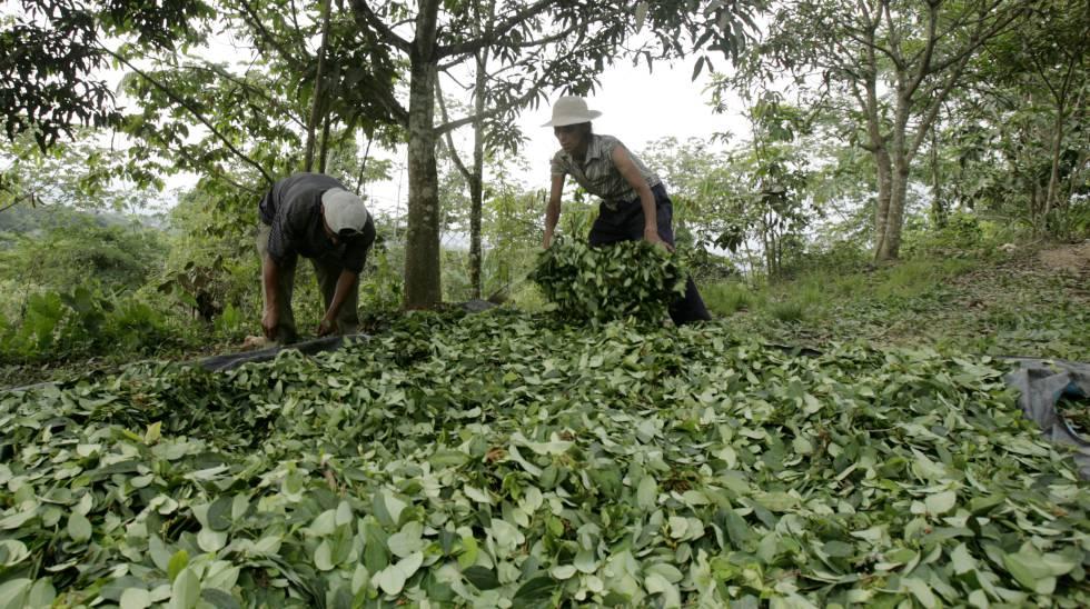 Plantación de coca en la región de Ayacucho, Perú.