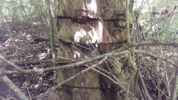 El árbol marcado que permitió ubicar los restos de El Campito.