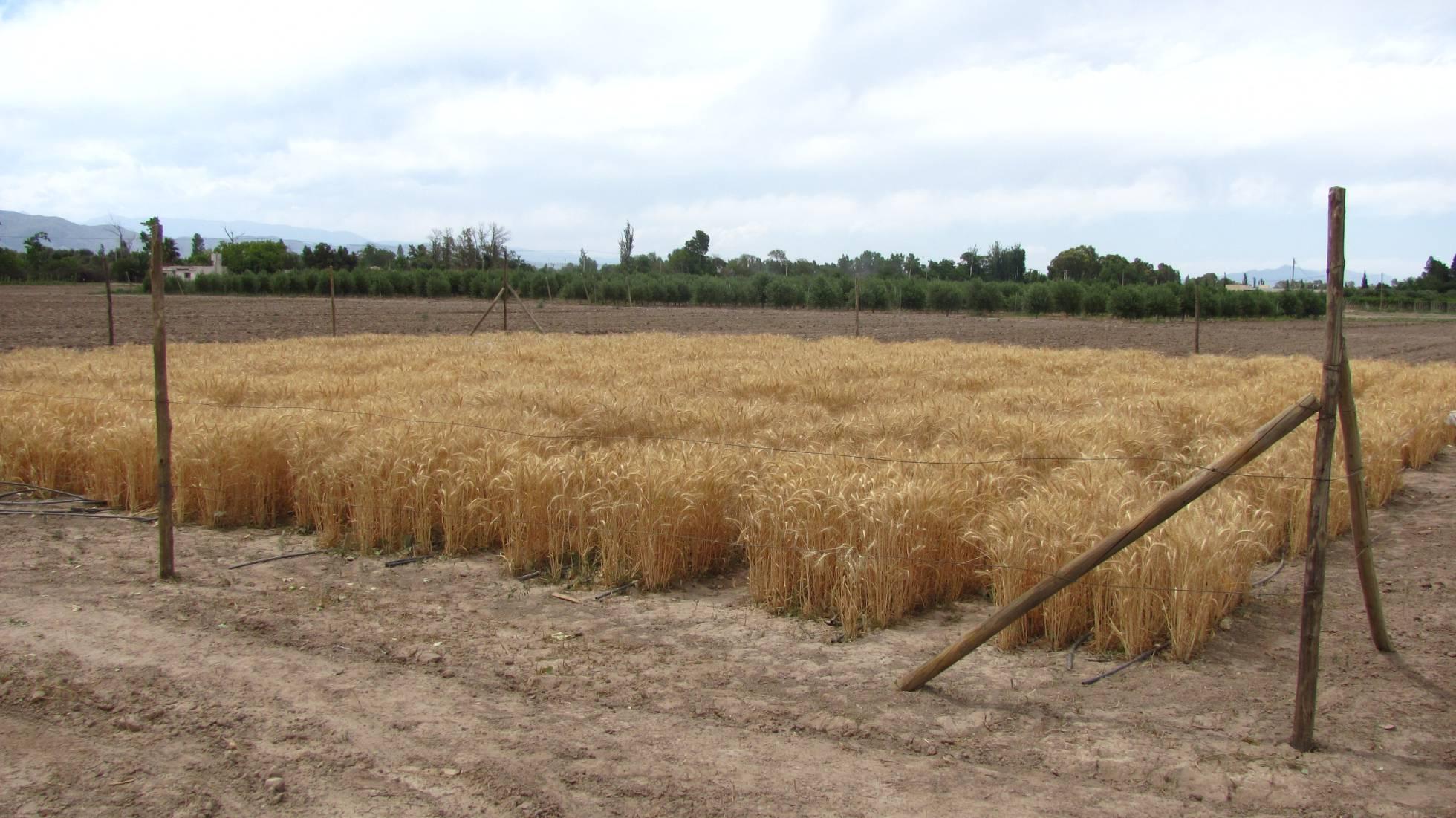 Argentina evalúa ser el primer país del mundo con trigo transgénico