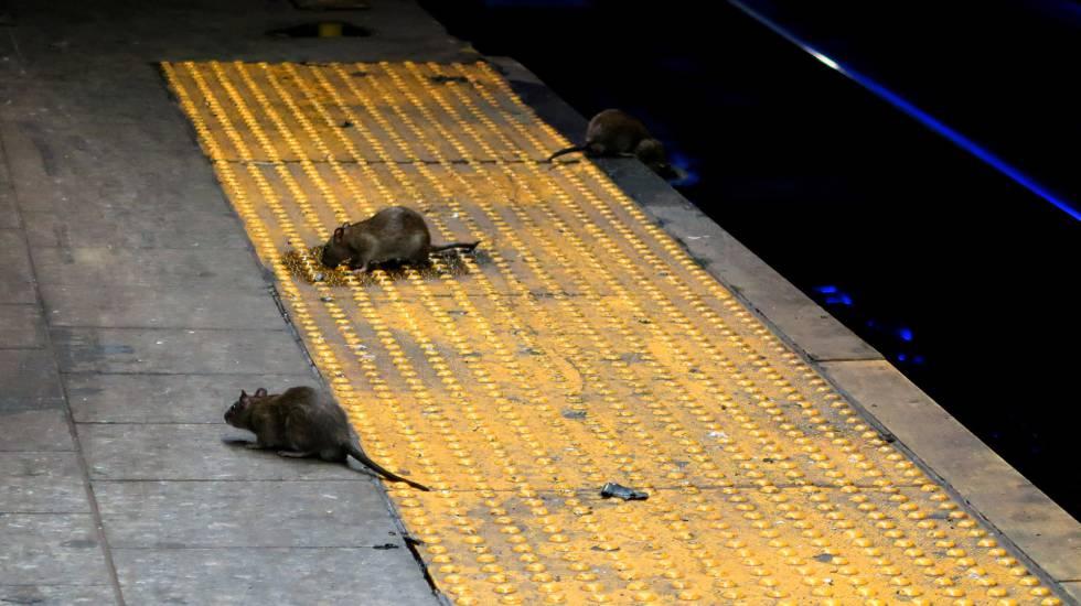 Varias ratas buscan comida en la parada de metro de Herald Square, en Nueva York.