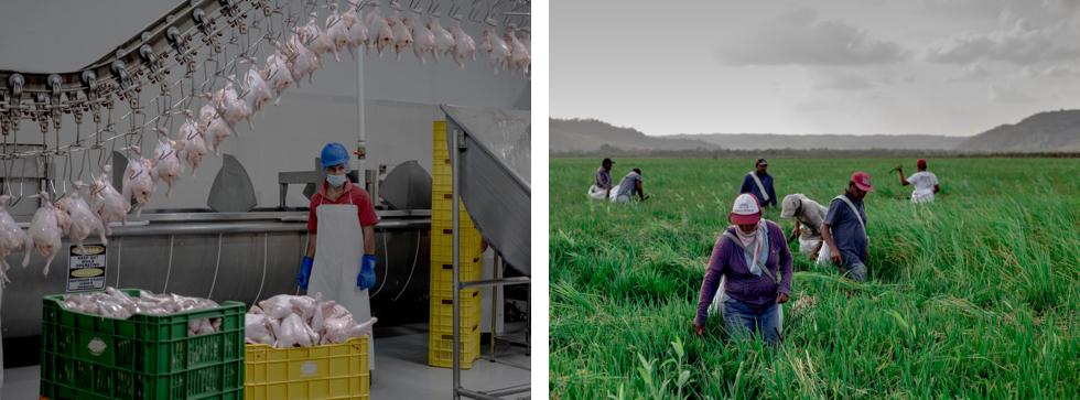 Matadero de pollos y plantaciones de arroz cultivadas por inmigrantes irregulares mexicanos