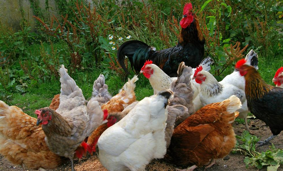 Varias gallinas y un gallo.