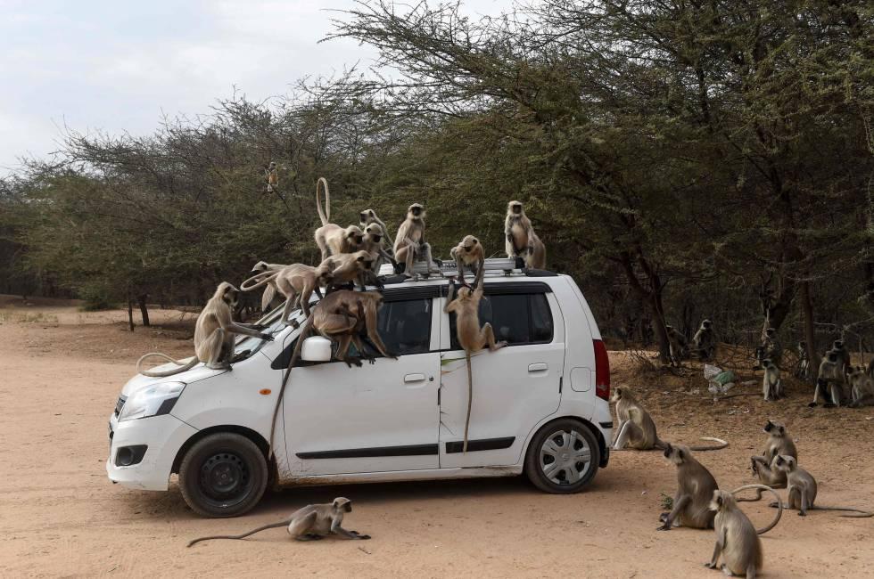 Monos subidos a un vehículo en las cercanías de Ahmedabad (India).