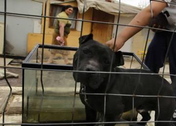 La Policía Rescata 230 Perros Utilizados En Peleas A Muerte España