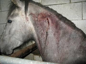 Uno de los caballos a los que se les extrajo el chip de identificación.