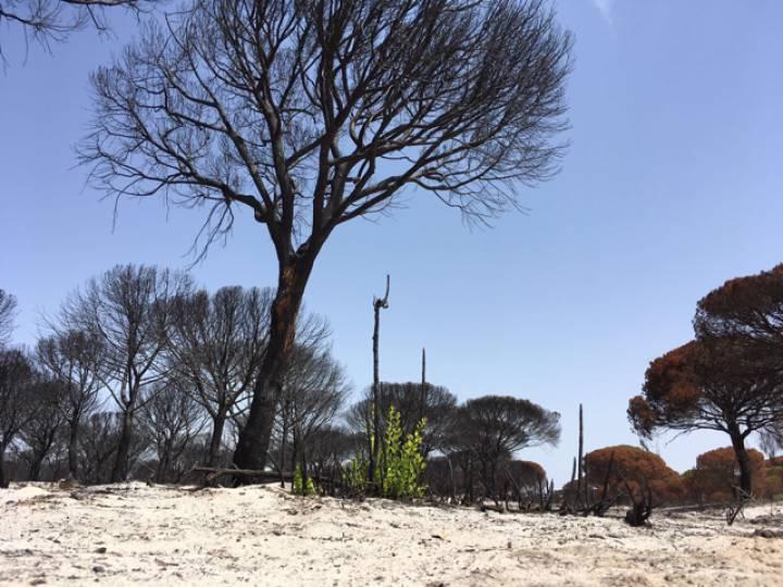 Un alcornoque que ha rebrotado tras el último incendio en Doñana.