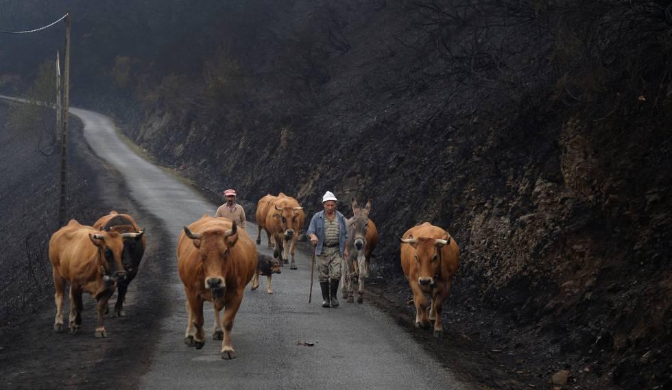 Dos ganaderos conducen ganado por una carretera de montaña en San Martín de Cereixedo (Lugo).