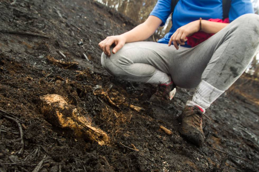 Una voluntaria localiza los restos de un mamífero, ayer, en Ponte Caldelas (Pontevedra).