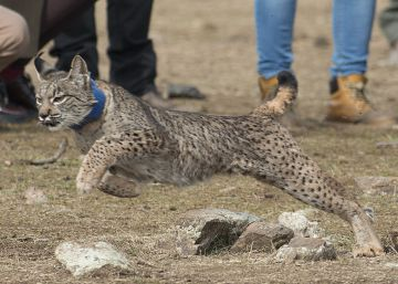 The Iberian lynx: No longer a whisker from extinction