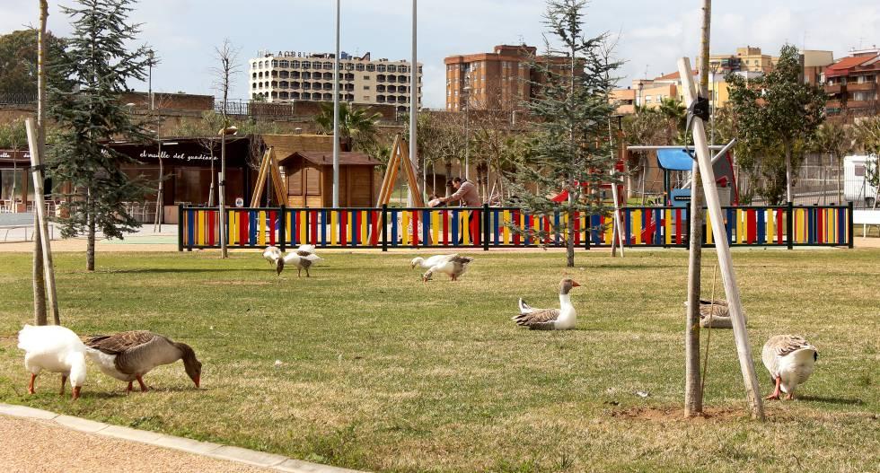 Los gansos picotean el césped por un tramo del parque del Guadiana.