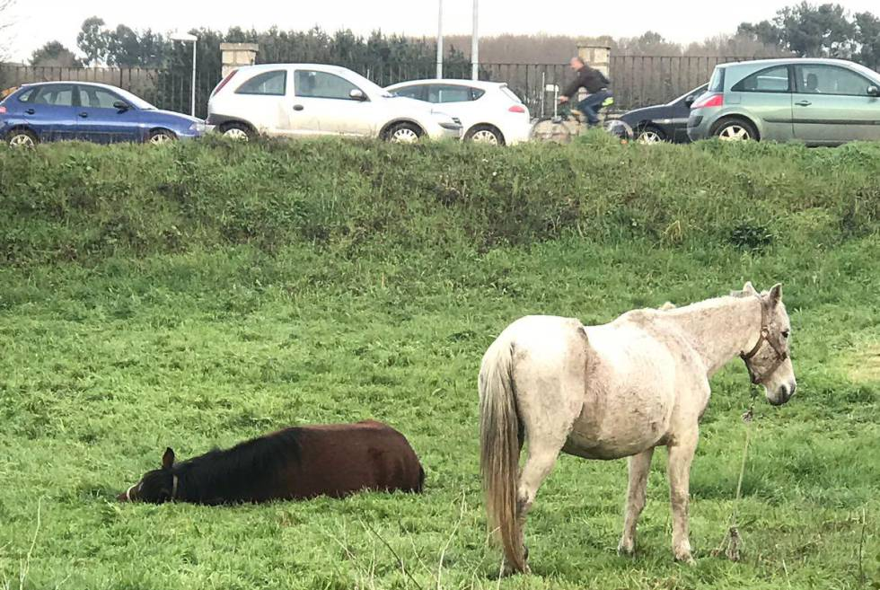 Dos caballos abandonados en Lugo.