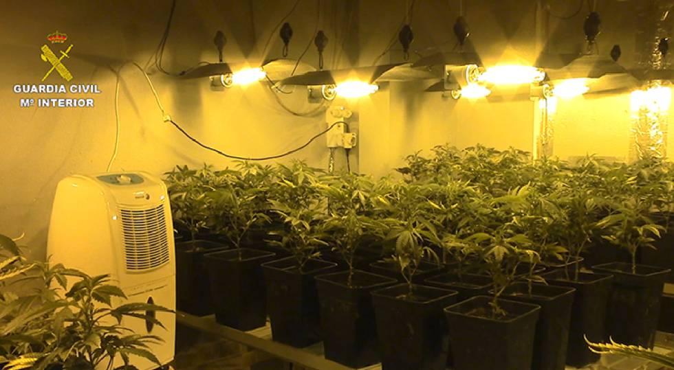 Una plantación de marihuana en Mallorca en uno de los domicilios registrado por la Guardia Civil este viernes.