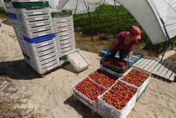 Una temporera marroquí transporta fresas.